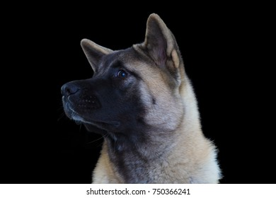 portrait of american akita on black background close-up