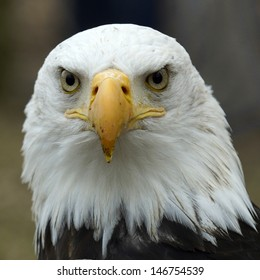 Portrait of an American bald eagle