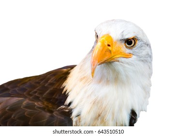 Portrait of American Bald Eagle isolated on a white background.