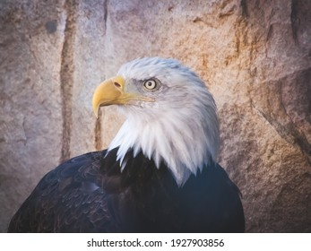 Portrait of American Bald Eagle, symbol of freedom of the United States of America.