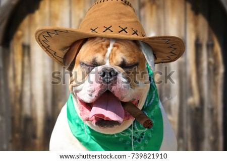 Portrait American Bulldog Cowboy Hat Handkerchief Stock Photo Edit