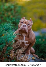 Portrait of an American bully a walk in the Park
