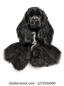 Portrait of a American Cocker Spaniel above banner, isolated on white background. Animal themes