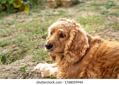 Portrait of an American Cocker Spaniel dog resting in the garden on a sunny day.