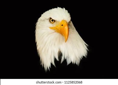 Portrait american eagle on the black background (Haliaeetus leucocephalus).