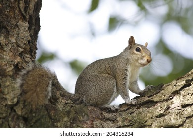 Portrait of american grey squirrel