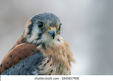 Portrait of a American kestrel (Falco sparverius)