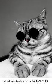 Portrait of American Shorthair gray cat wearing circle sunglasses, cool cat.