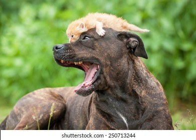Portrait of american staffordshire terrier dog with little kitten on its head