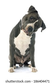 portrait of an  american staffordshire  terrier in front of white background