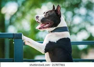 Portrait of american staffordshire terrier looking over the fence