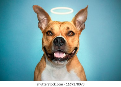 portrait of American Staffordshire Terrier on isolated blue background. The dog in the form of an angel with a Golden halo over his head. Dog angel