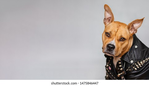 portrait of American Staffordshire Terrier on isolated grey background. The dog is a punk rocker. The dog looks like a human. web banner with copy space.