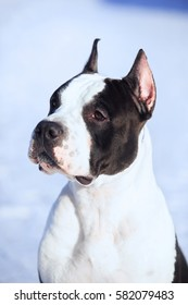 Portrait of an American Staffordshire Terrier standing on the street in winter