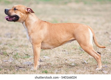 portrait of The American Staffordshire terrier in the summer, close up