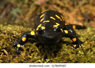 Portrait Amphibian The fire salamander Salamandra salamandra