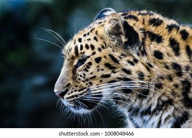 Portrait of an amur leopard