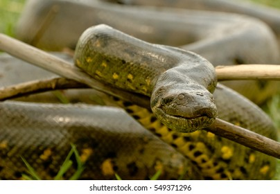 Portrait anaconda