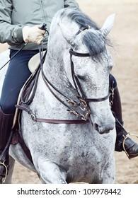 portrait of Andalisian grey dressage horse. Spain