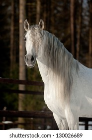 Portrait Andalusian horse in the field