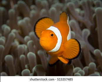 Portrait of Anemone fish waving with it's fins