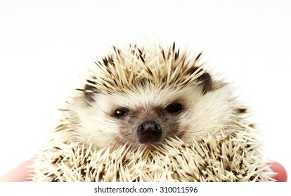 portrait of angry african pygmy hedgehog baby in roll