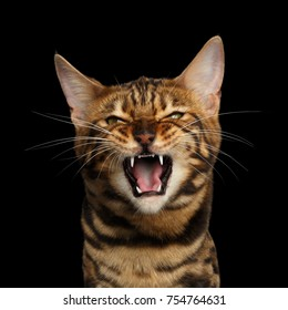Portrait of Angry Bengal Cat Meowing on isolated Black Background, front view