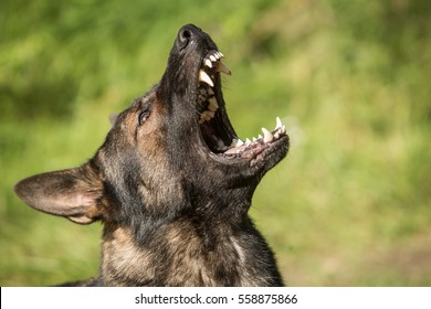 Portrait of angry Gray working line German shepherd barking