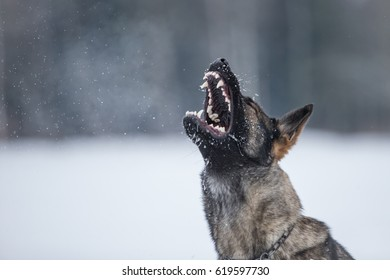 Portrait of angry Gray working line German shepherd barking in winter