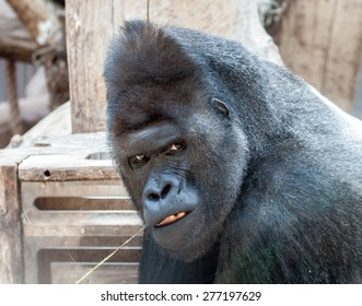Portrait of an angry male gorilla bitting a straw of hay