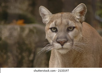 A portrait of an angry mountain lion.