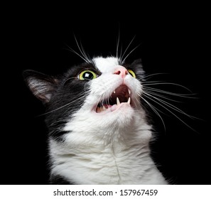 Portrait of an angry (or surprised) cat on black background.