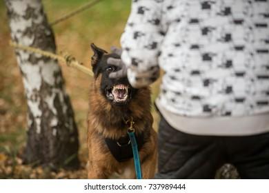 Portrait of angry show line German shepherd