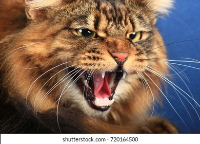 Portrait of angry Siberian cat