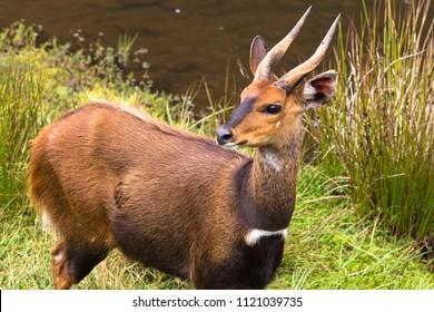 Portrait of antelope Bushbuck. Aberdare, Kenya