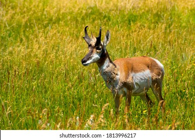 Portrait of an Antelope in a green field in Yellowstone National Park.