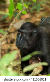 portrait of  Ape Monkey Celebes Sulawesi crested black macaque, Takngkoko National park, Asia, Sulawesi, Indonesia