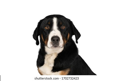 Portrait of a Appenzeller Mountain Sennen Dog head sitting isolated against a white background