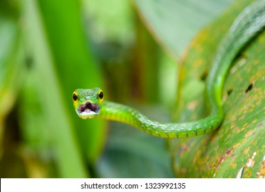 Portrait of the arboreal Green Vine Snake (Oxybelis Fulgidus) with open mouth, Tortuguero national park, Costa Rica, Central America.