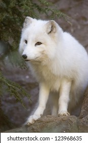 Portrait of an Arctic Fox, Vulpes lagopus, with white winter coat