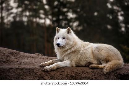 Portrait of Arctic wolf.