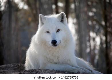 Portrait of arctic wolf in winter. Canis lupus arctos.