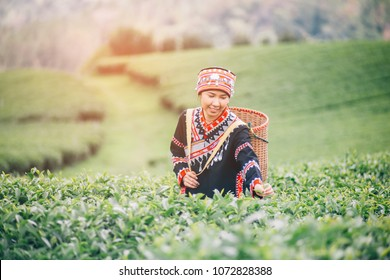 Portrait of Asia worker farmer women were picking tea leaves at a tea plantation.