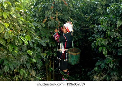 Portrait of asian lady Akha tribe,Akha hill picking arabica coffee berries in red and green on its branch tree  Akha women and coffee plantations at Doi Pha Hom Pok , Mea Ai ,Thailand.