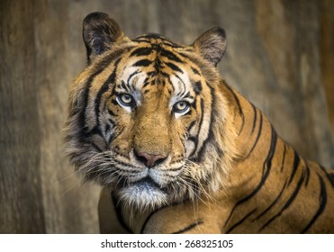 Portrait of Asian tiger.