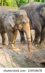 Portrait of Asiatic Elephant, Thailand.