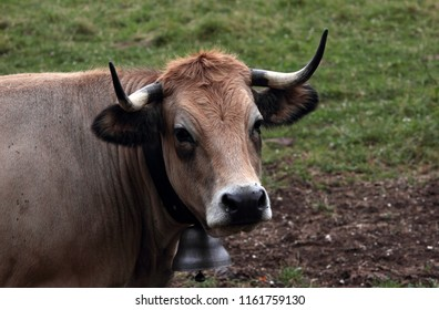 portrait of an Aubrac cow with long horns and a silver bell on his neck.