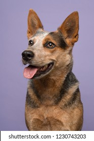 Portrait of a australian cattle dog looking away to the left on a purple background in a vertical image