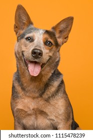 Portrait of an australian cattle dog smiling at the camera with mouth open en tongue out on an orange background