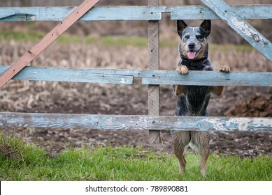 Portrait of Australian cattle dog standing near a rural fence for farm cattle